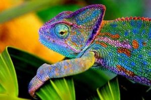 Chameleon coloring pages
