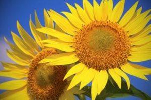 Ausmalbilder Sonnenblume
